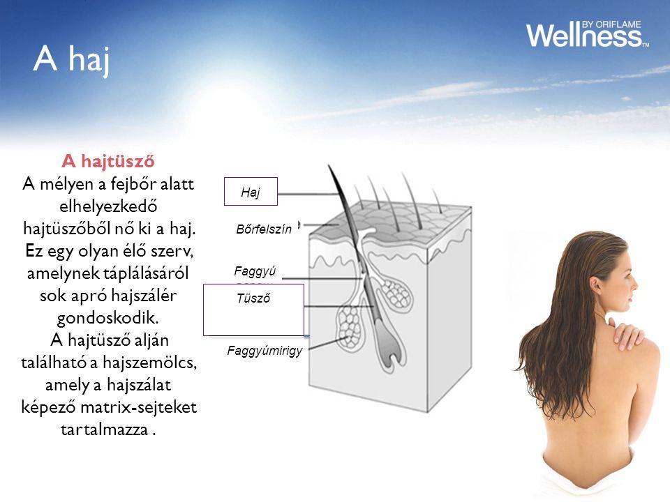 A haj Haj Bőrfelszín Faggyú Tüsző Faggyúmirigy A hajtüsző A mélyen a fejbőr alatt elhelyezkedő hajtüszőből nő ki a haj.