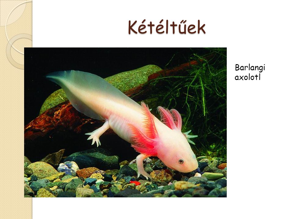 Kétéltűek Barlangi axolotl