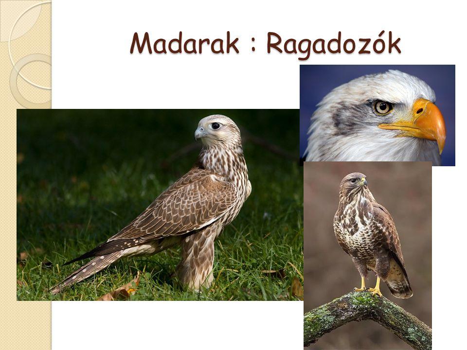 Madarak : Ragadozók