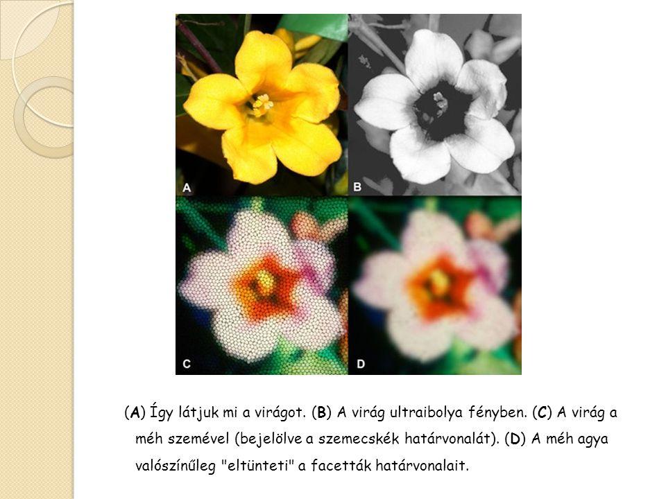 (A) Így látjuk mi a virágot. (B) A virág ultraibolya fényben. (C) A virág a méh szemével (bejelölve a szemecskék határvonalát). (D) A méh agya valószí