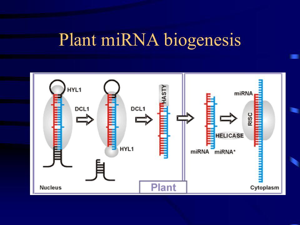 Animal miRNA biogenesis