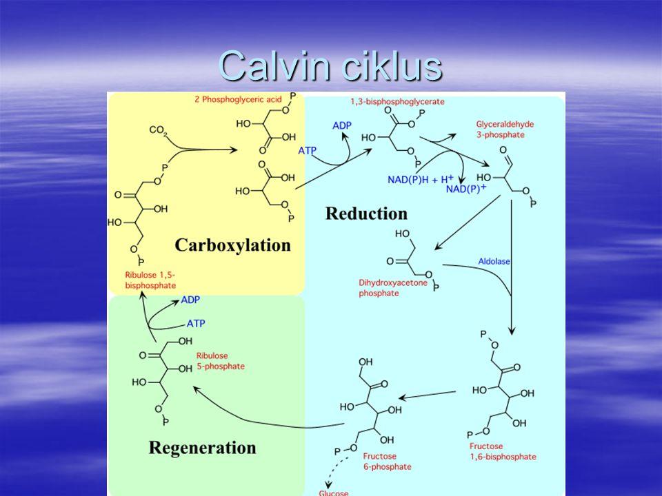 Calvin ciklus