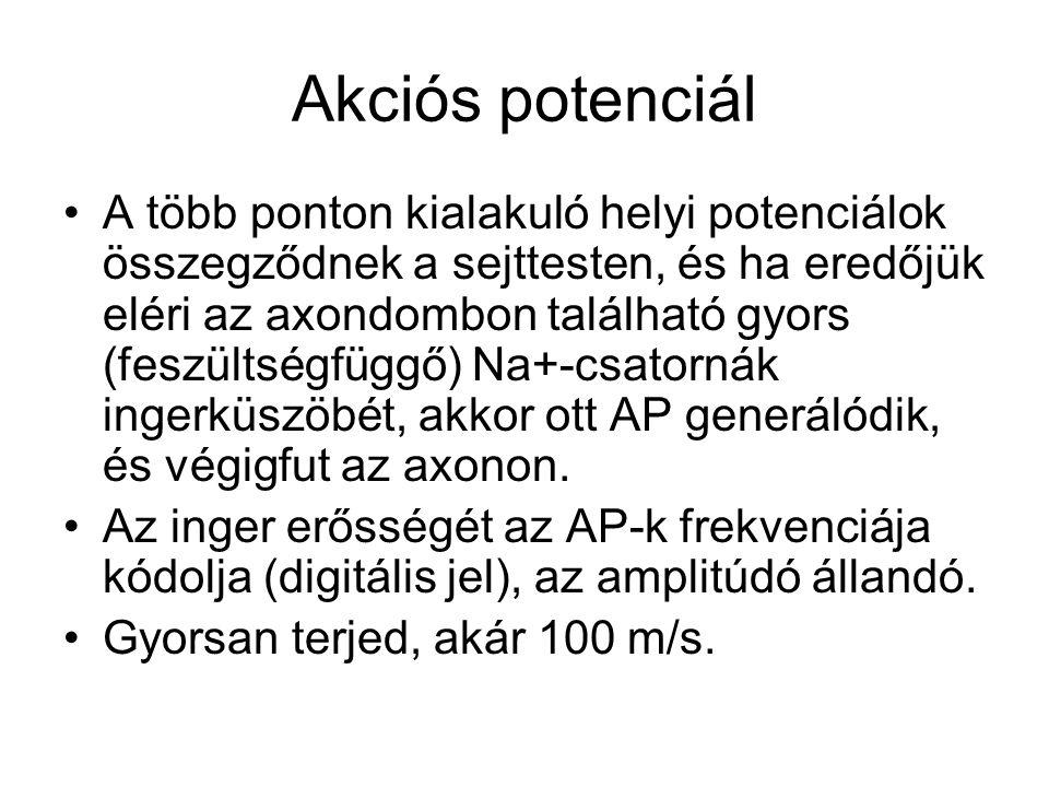 Akciós potenciál A több ponton kialakuló helyi potenciálok összegződnek a sejttesten, és ha eredőjük eléri az axondombon található gyors (feszültségfü