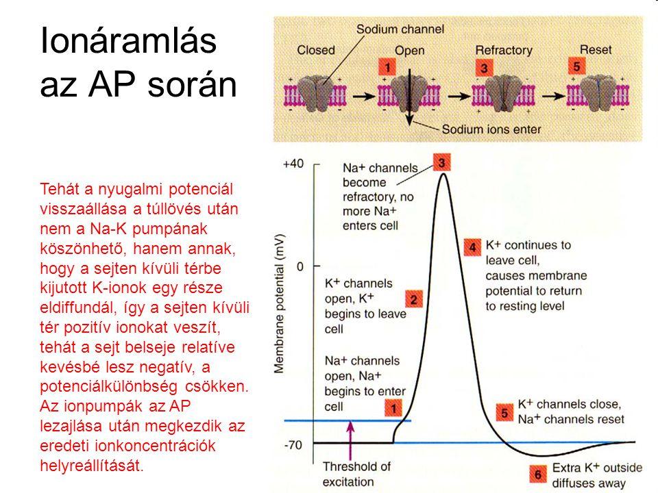 Ionáramlás az AP során Tehát a nyugalmi potenciál visszaállása a túllövés után nem a Na-K pumpának köszönhető, hanem annak, hogy a sejten kívüli térbe