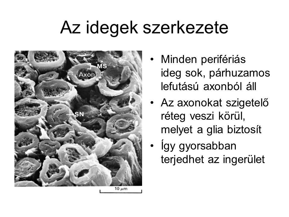 Az idegek szerkezete Minden perifériás ideg sok, párhuzamos lefutású axonból áll Az axonokat szigetelő réteg veszi körül, melyet a glia biztosít Így g