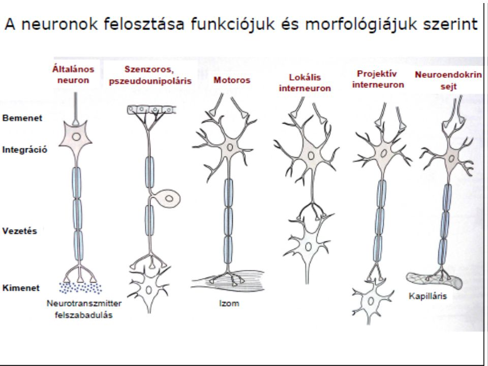 Elektromos szinapszis A két sejt nagyon szorosan (2-3 nanométer) illeszkedik A konnexonokon át ionok és kis molekulák szabadon áramolhatnak Nagyon gyors az ingerületátvitel, mindkét irányban végbemehet Kevésbé szabályozható Gerinctelenekben elterjedtebb, a gerincesekben a szívizom sejtjei között tipikus.