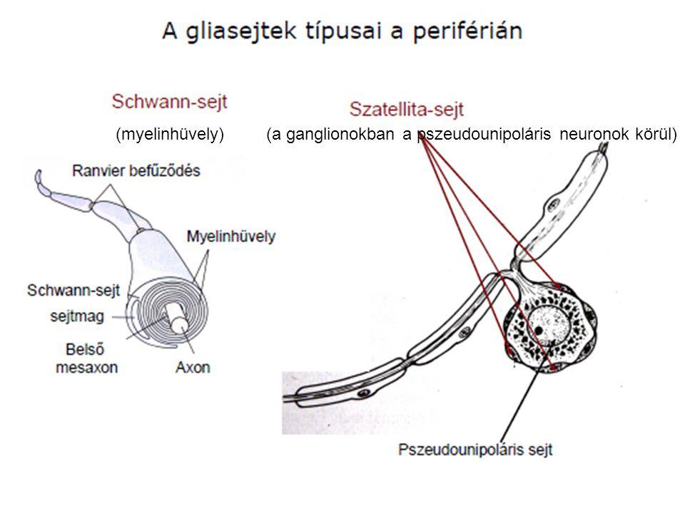 (myelinhüvely)(a ganglionokban a pszeudounipoláris neuronok körül)