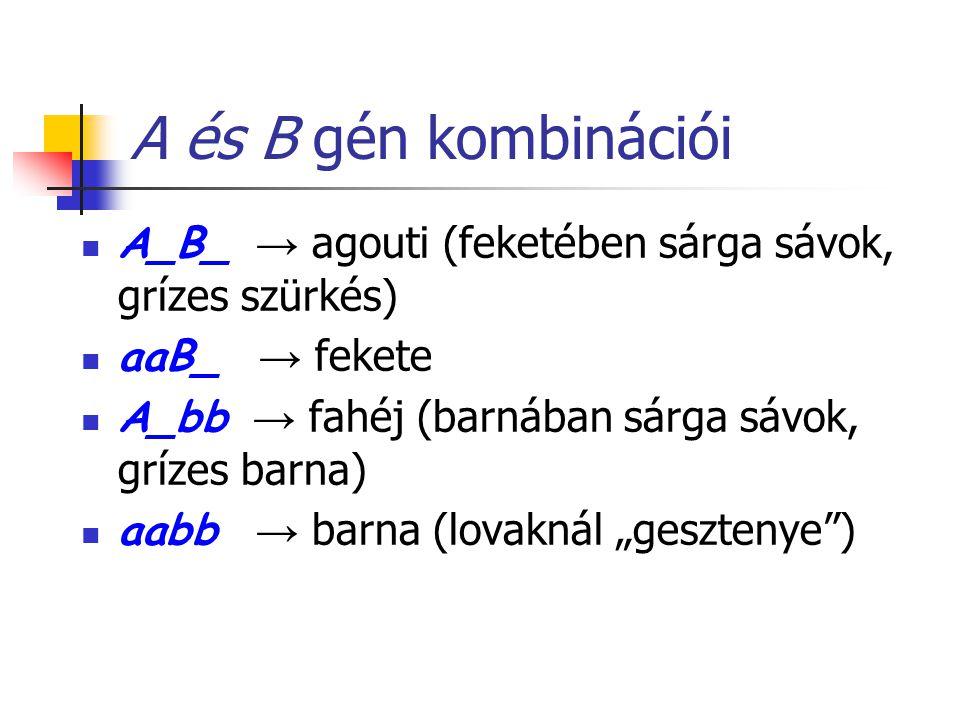 A és B gén kombinációi A_B_ → agouti (feketében sárga sávok, grízes szürkés) aaB_ → fekete A_bb → fahéj (barnában sárga sávok, grízes barna) aabb → ba