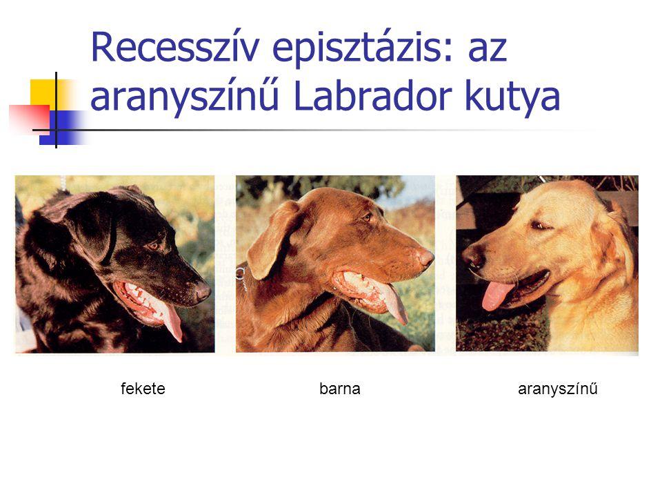 Recesszív episztázis: az aranyszínű Labrador kutya feketebarnaaranyszínű