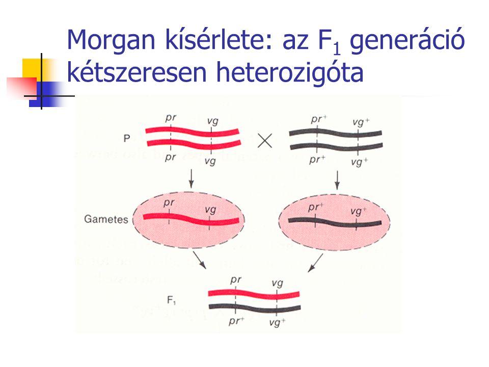 Morgan kísérlete: az F 1 generáció kétszeresen heterozigóta