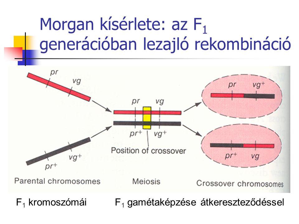 Morgan kísérlete: az F 1 generációban lezajló rekombináció F 1 kromoszómáiF 1 gamétaképzése átkereszteződéssel