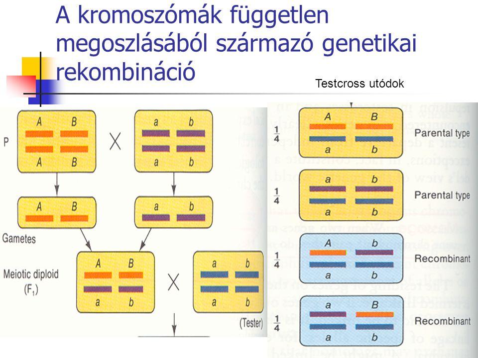 A kromoszómák független megoszlásából származó genetikai rekombináció Testcross utódok