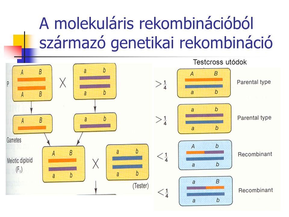 A molekuláris rekombinációból származó genetikai rekombináció Testcross utódok