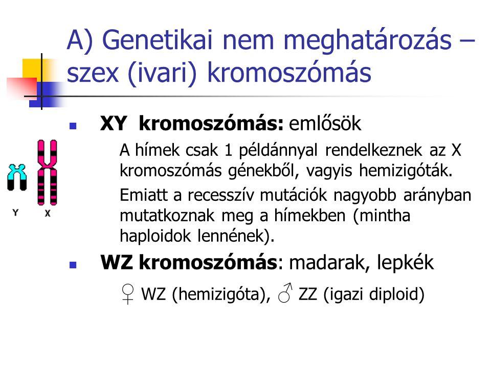 A) Genetikai nem meghatározás – szex (ivari) kromoszómás XY kromoszómás: emlősök A hímek csak 1 példánnyal rendelkeznek az X kromoszómás génekből, vag