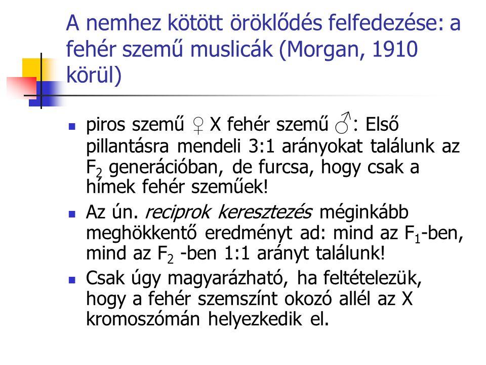 A nemhez kötött öröklődés felfedezése: a fehér szemű muslicák (Morgan, 1910 körül) piros szemű ♀ X fehér szemű ♂: Első pillantásra mendeli 3:1 arányok