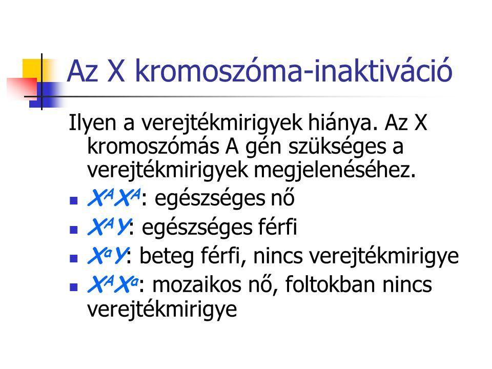 Az X kromoszóma-inaktiváció Ilyen a verejtékmirigyek hiánya. Az X kromoszómás A gén szükséges a verejtékmirigyek megjelenéséhez. X A X A : egészséges