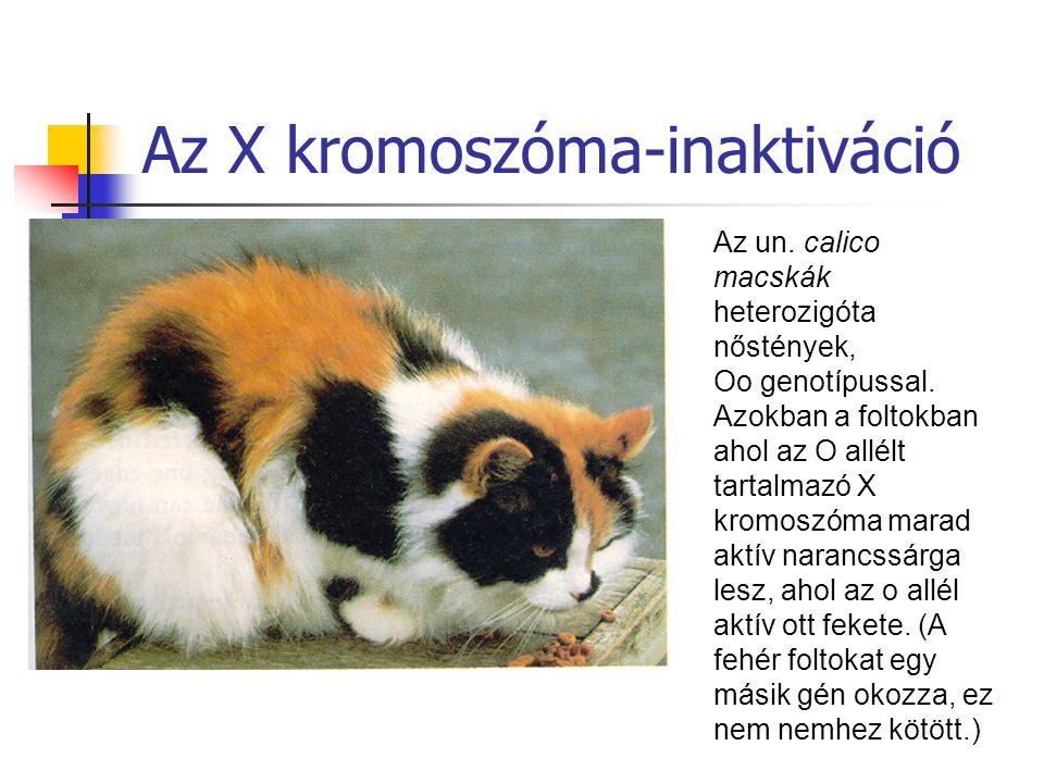 Az un. calico macskák heterozigóta nőstények, Oo genotípussal. Azokban a foltokban ahol az O allélt tartalmazó X kromoszóma marad aktív narancssárga l