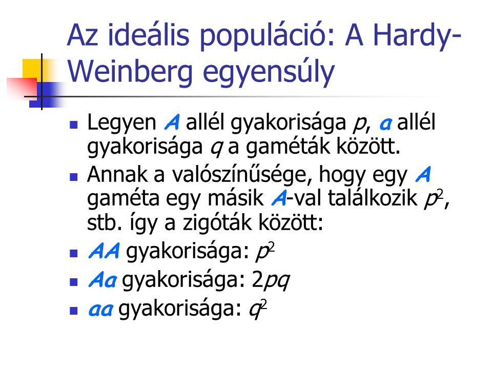 Az ideális populáció: A Hardy- Weinberg egyensúly Legyen A allél gyakorisága p, a allél gyakorisága q a gaméták között. Annak a valószínűsége, hogy eg