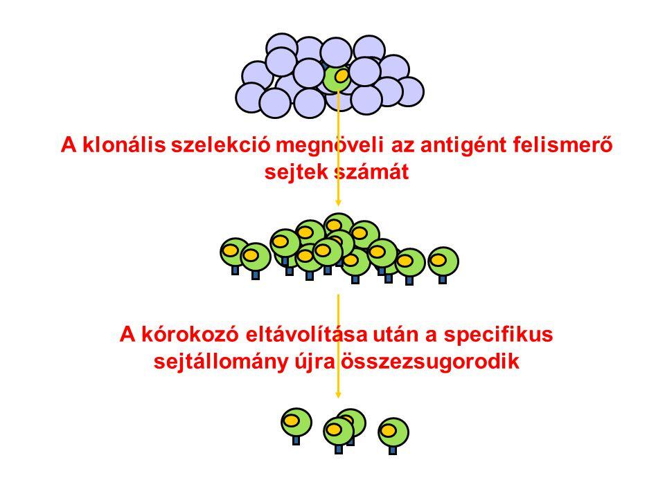 A klonális szelekció megnöveli az antigént felismerő sejtek számát A kórokozó eltávolítása után a specifikus sejtállomány újra összezsugorodik