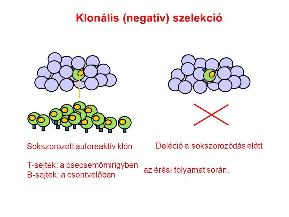 Sokszorozott autoreaktív klón Deléció a sokszorozódás előtt Klonális (negatív) szelekció T-sejtek: a csecsemőmirigyben B-sejtek: a csontvelőben az érési folyamat során.