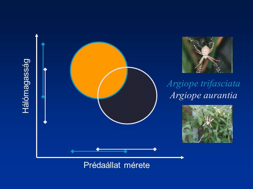 Prédaállat mérete Hálómagasság Argiope trifasciata Argiope aurantia