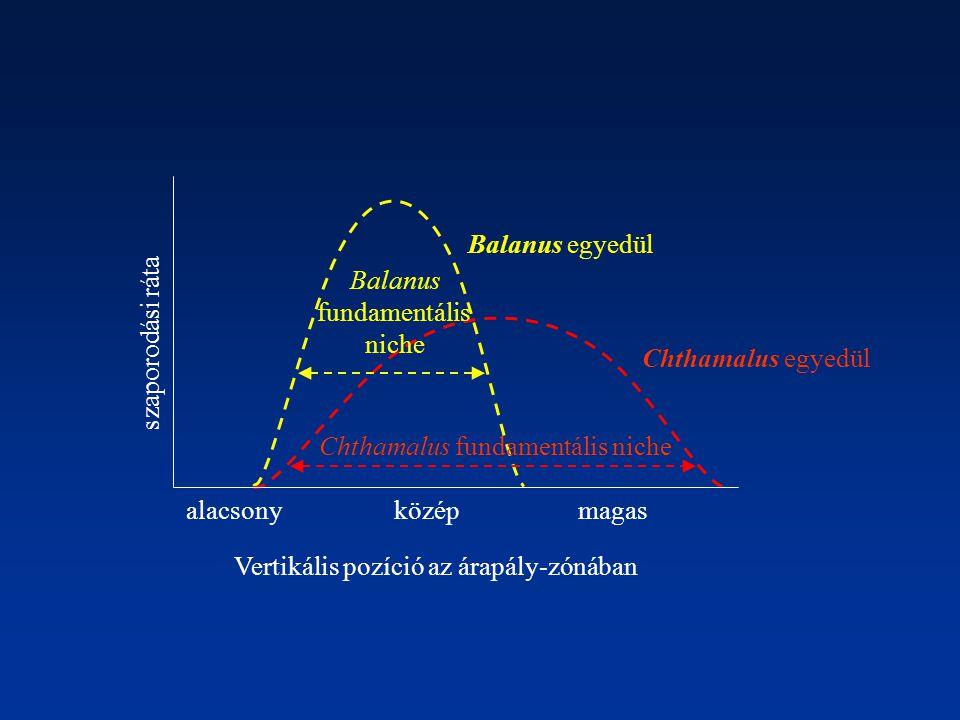 alacsonymagasközép Chthamalus egyedül Balanus egyedül Balanus fundamentális niche Chthamalus fundamentális niche szaporodási ráta Vertikális pozíció a