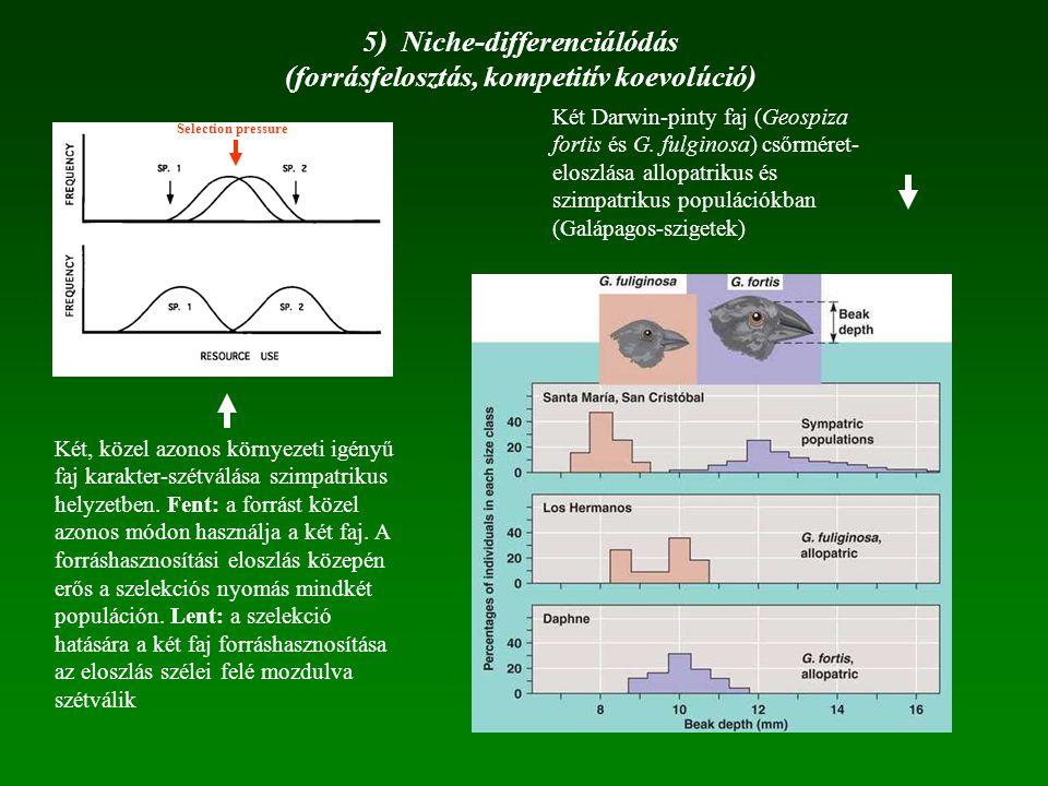 5) Niche-differenciálódás (forrásfelosztás, kompetitív koevolúció) Két Darwin-pinty faj (Geospiza fortis és G. fulginosa) csőrméret- eloszlása allopat