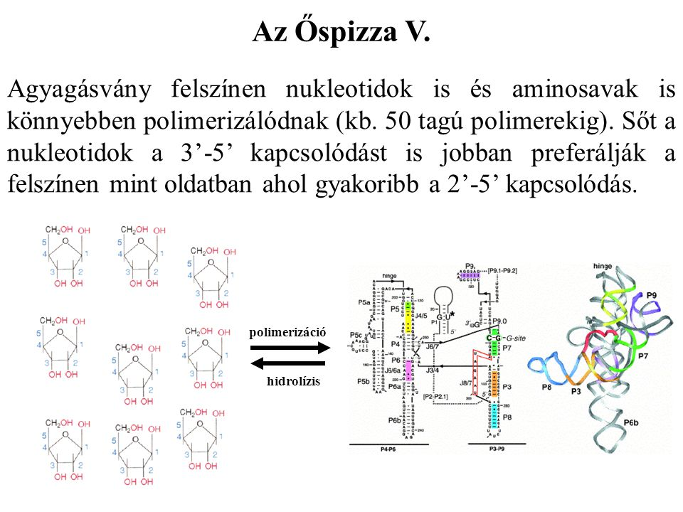 Az Őspizza V. Agyagásvány felszínen nukleotidok is és aminosavak is könnyebben polimerizálódnak (kb. 50 tagú polimerekig). Sőt a nukleotidok a 3'-5' k