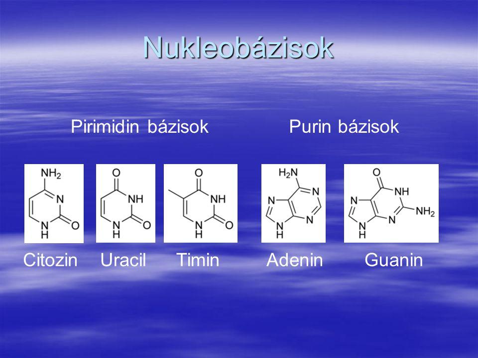 Nukleobázisok CitozinUracilTiminAdeninGuanin Pirimidin bázisok Purin bázisok