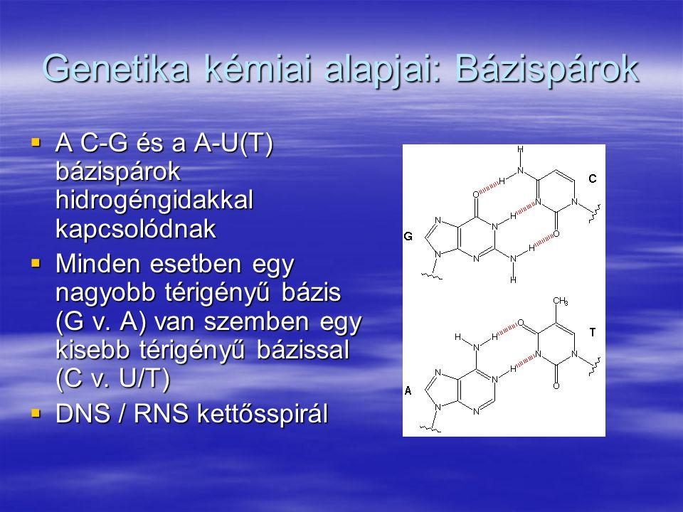 Genetika kémiai alapjai: Bázispárok  A C-G és a A-U(T) bázispárok hidrogéngidakkal kapcsolódnak  Minden esetben egy nagyobb térigényű bázis (G v. A)
