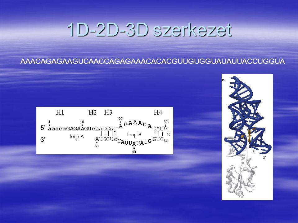 1D-2D-3D szerkezet AAACAGAGAAGUCAACCAGAGAAACACACGUUGUGGUAUAUUACCUGGUA