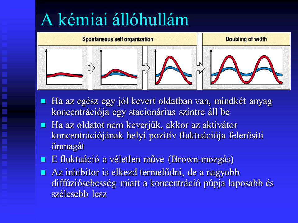 A kémiai állóhullám Ha az egész egy jól kevert oldatban van, mindkét anyag koncentrációja egy stacionárius szintre áll be Ha az oldatot nem keverjük, akkor az aktivátor koncentrációjának helyi pozitív fluktuációja felerősíti önmagát E fluktuáció a véletlen műve (Brown-mozgás) Az inhibitor is elkezd termelődni, de a nagyobb diffúziósebesség miatt a koncentráció púpja laposabb és szélesebb lesz