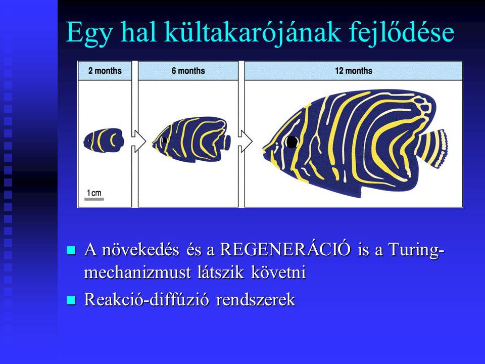 Egy hal kültakarójának fejlődése A növekedés és a REGENERÁCIÓ is a Turing- mechanizmust látszik követni Reakció-diffúzió rendszerek