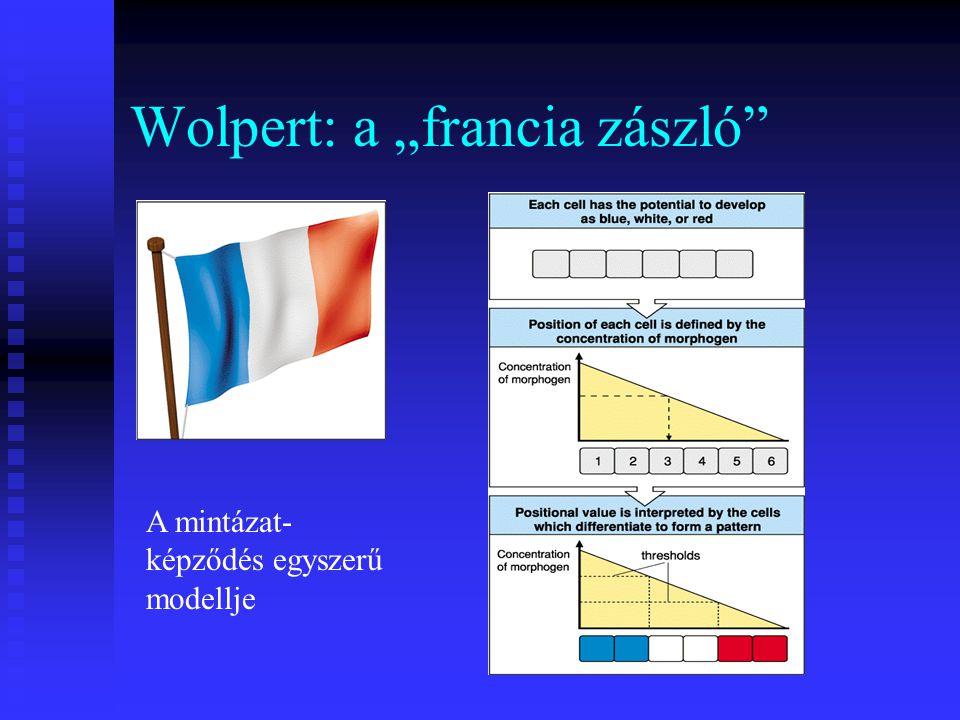 """Wolpert: a """"francia zászló A mintázat- képződés egyszerű modellje"""