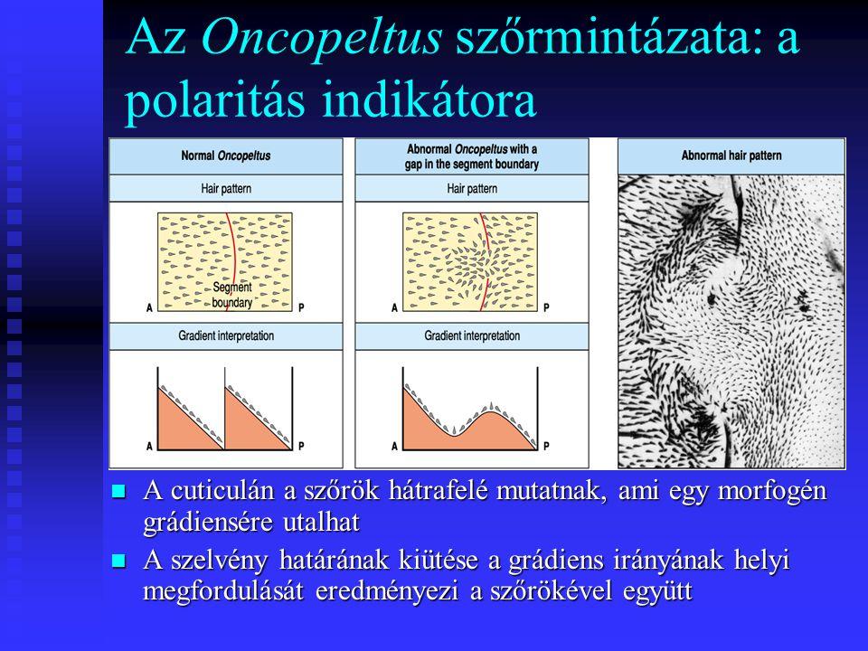Az Oncopeltus szőrmintázata: a polaritás indikátora A cuticulán a szőrök hátrafelé mutatnak, ami egy morfogén grádiensére utalhat A szelvény határának kiütése a grádiens irányának helyi megfordulását eredményezi a szőrökével együtt