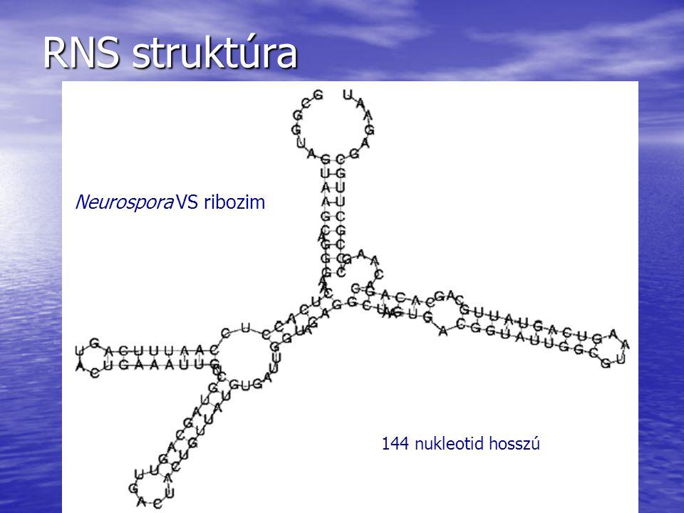 RNS struktúra Neurospora VS ribozim 144 nukleotid hosszú