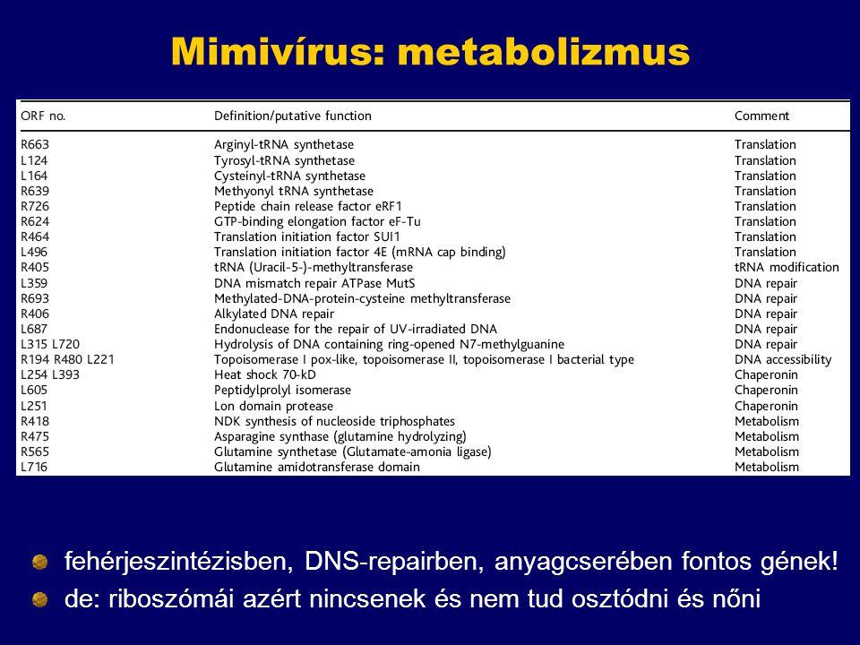 Mimivírus: metabolizmus fehérjeszintézisben, DNS-repairben, anyagcserében fontos gének! de: riboszómái azért nincsenek és nem tud osztódni és nőni