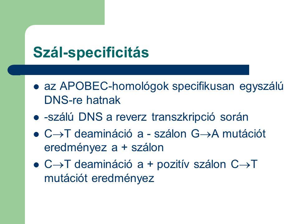 Szál-specificitás az APOBEC-homológok specifikusan egyszálú DNS-re hatnak -szálú DNS a reverz transzkripció során C  T deamináció a - szálon G  A mutációt eredményez a + szálon C  T deamináció a + pozitív szálon C  T mutációt eredményez