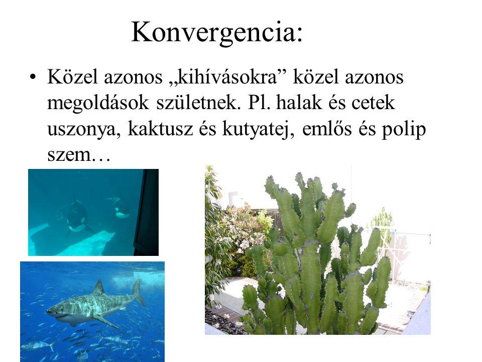 """Konvergencia: Közel azonos """"kihívásokra"""" közel azonos megoldások születnek. Pl. halak és cetek uszonya, kaktusz és kutyatej, emlős és polip szem…"""