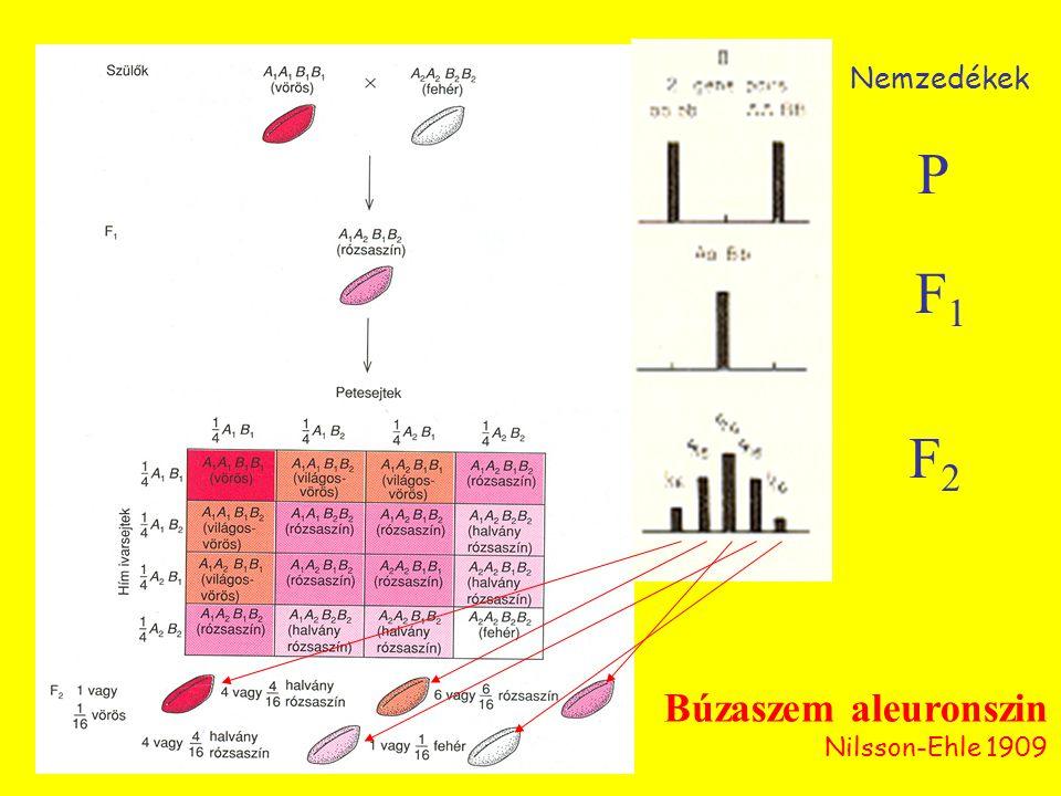 Búzaszem aleuronszin Nilsson-Ehle 1909 F1F1 P F2F2 Nemzedékek