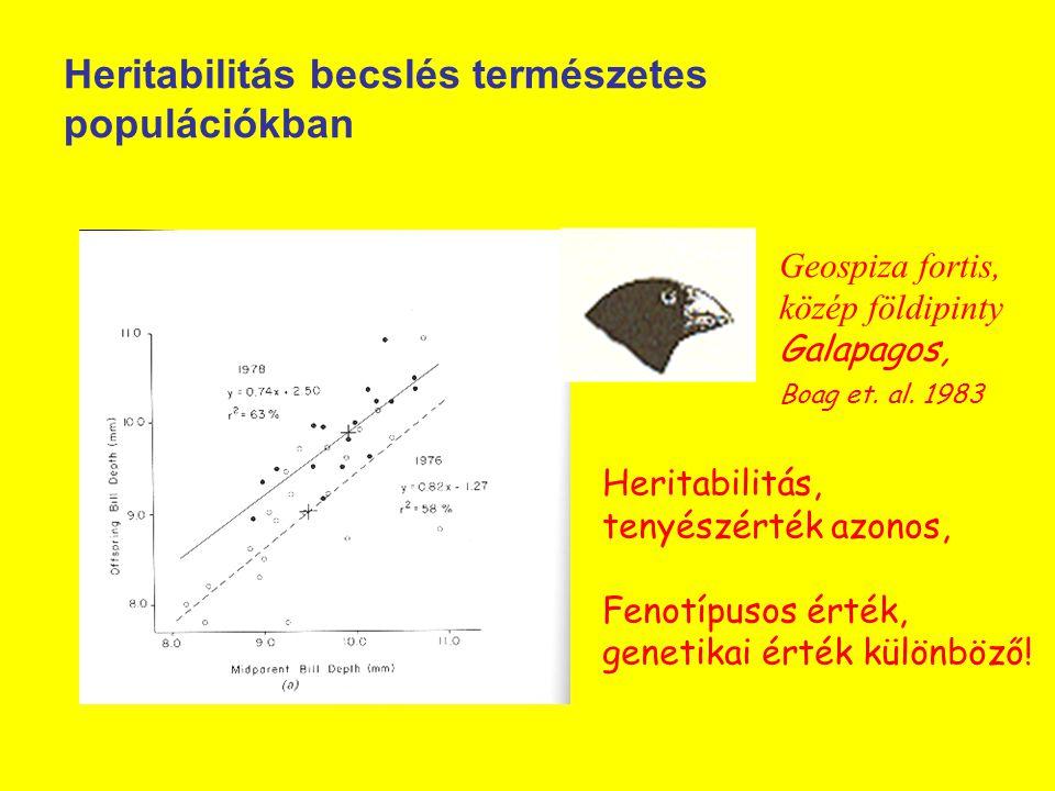 Heritabilitás becslés természetes populációkban Geospiza fortis, közép földipinty Galapagos, Boag et. al. 1983 Heritabilitás, tenyészérték azonos, Fen