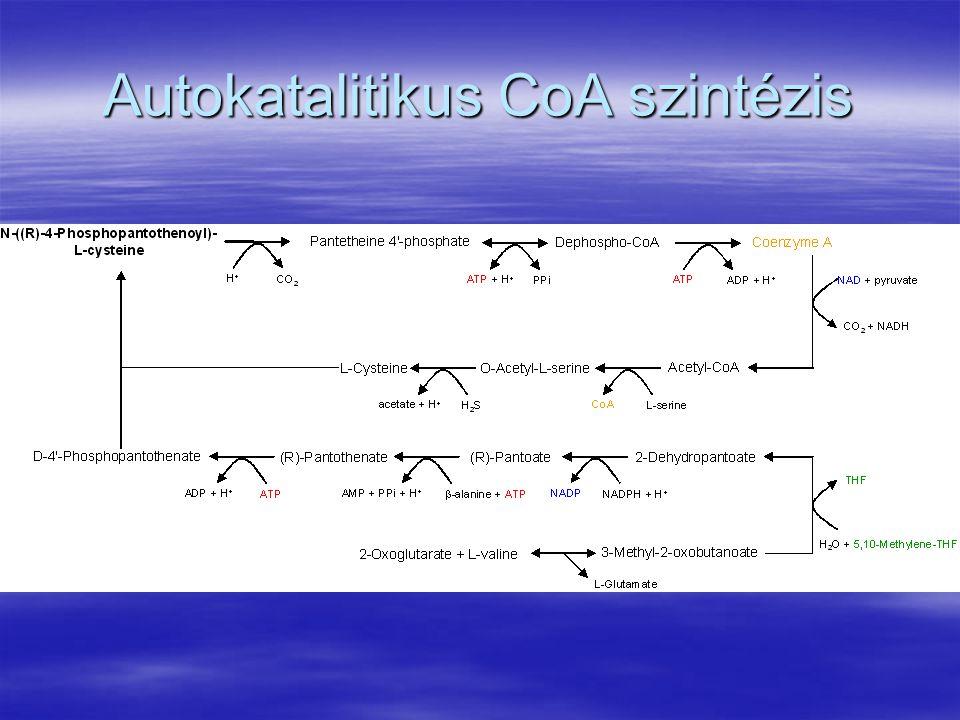 Autokatalitikus CoA szintézis