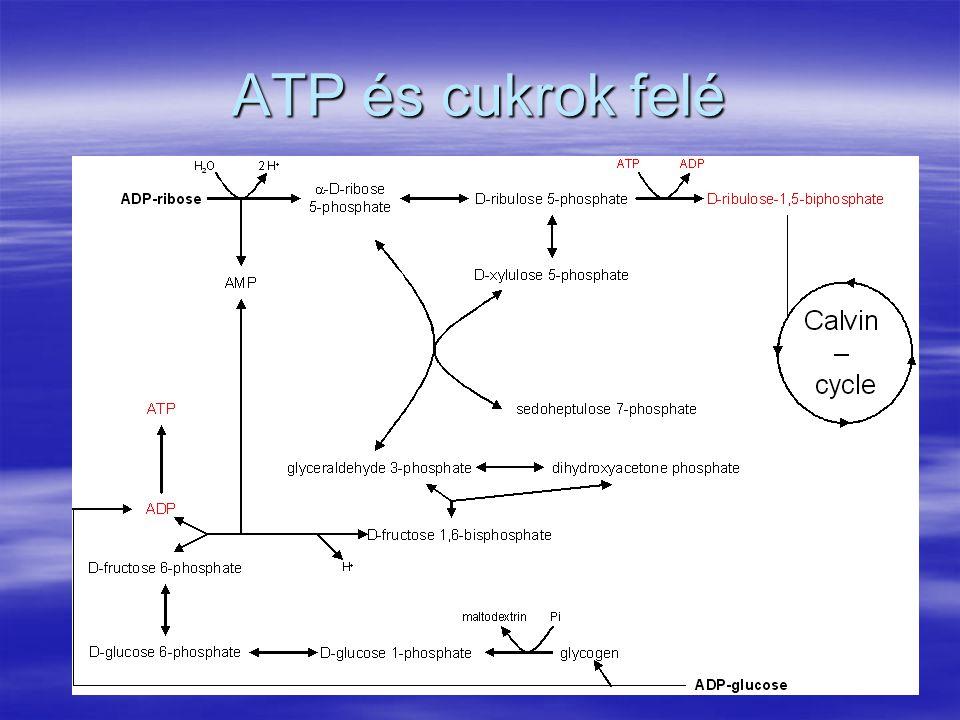 ATP és cukrok felé