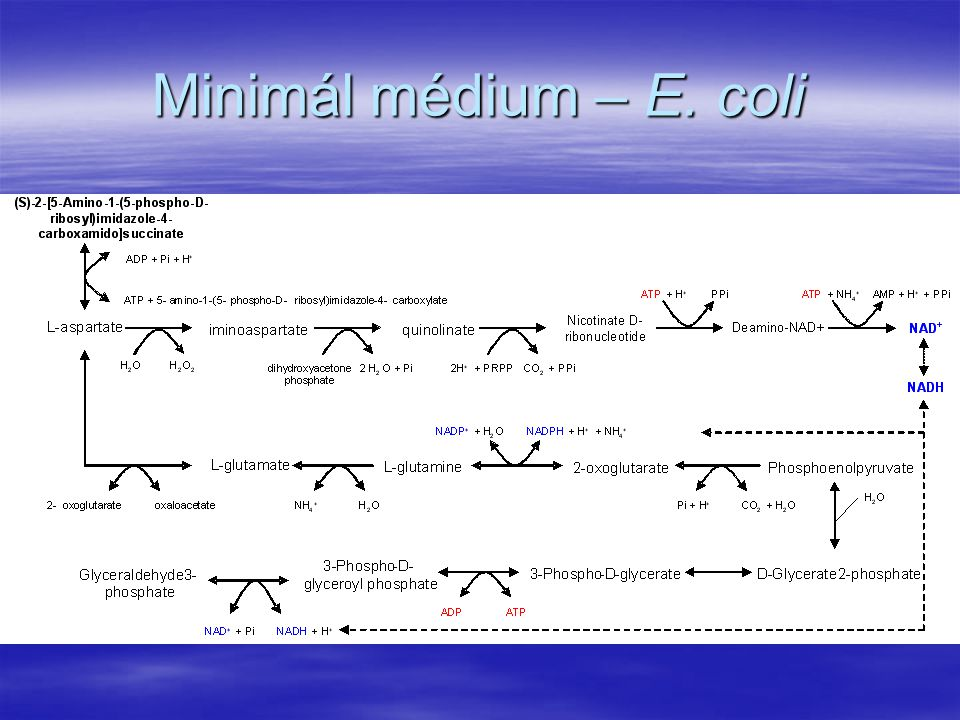 Minimál médium – E. coli