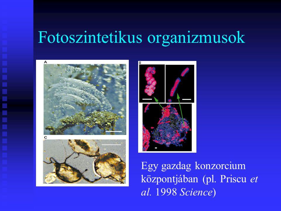Fotoszintetikus organizmusok Egy gazdag konzorcium központjában (pl. Priscu et al. 1998 Science)