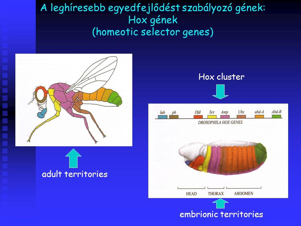 A leghíresebb egyedfejlődést szabályozó gének: Hox gének (homeotic selector genes) Hox cluster embrionic territories adult territories