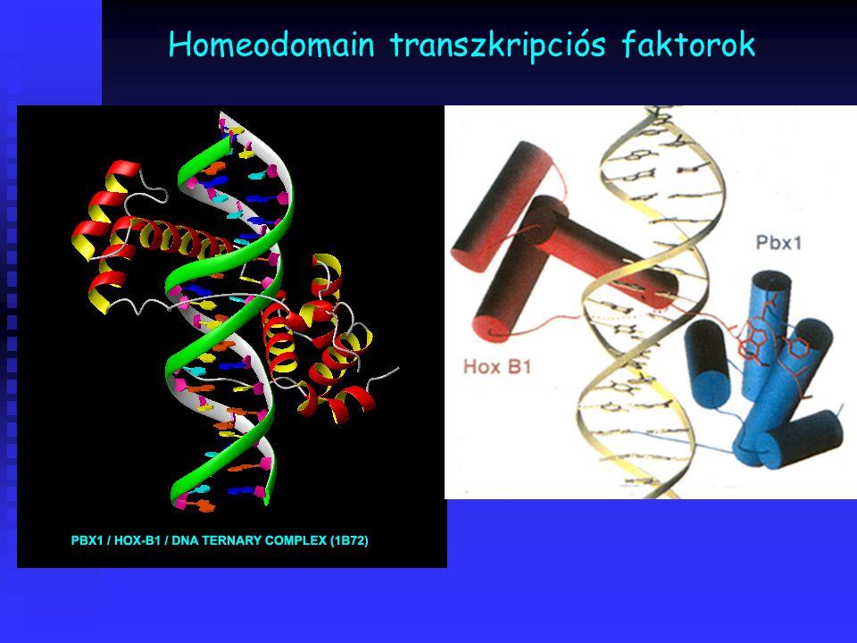 Homeodomain transzkripciós faktorok