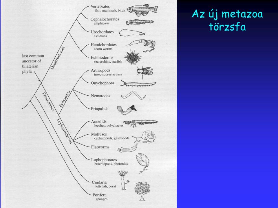 Az új metazoa törzsfa