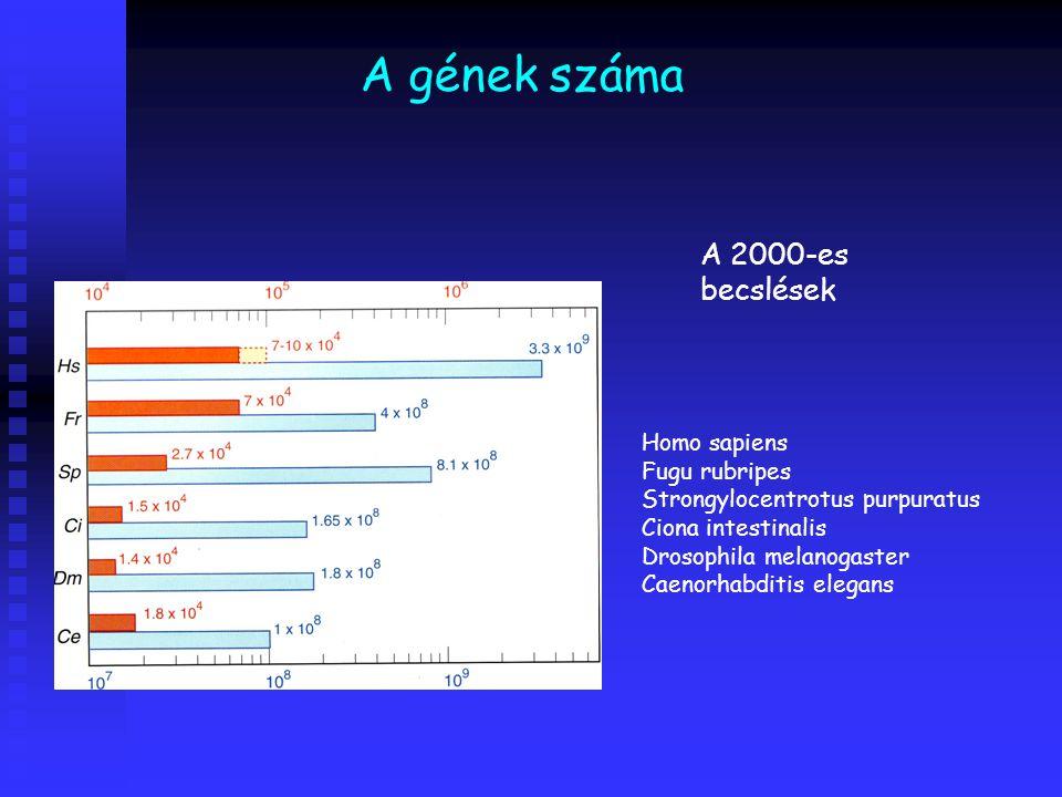 A gének száma A 2000-es becslések Homo sapiens Fugu rubripes Strongylocentrotus purpuratus Ciona intestinalis Drosophila melanogaster Caenorhabditis elegans