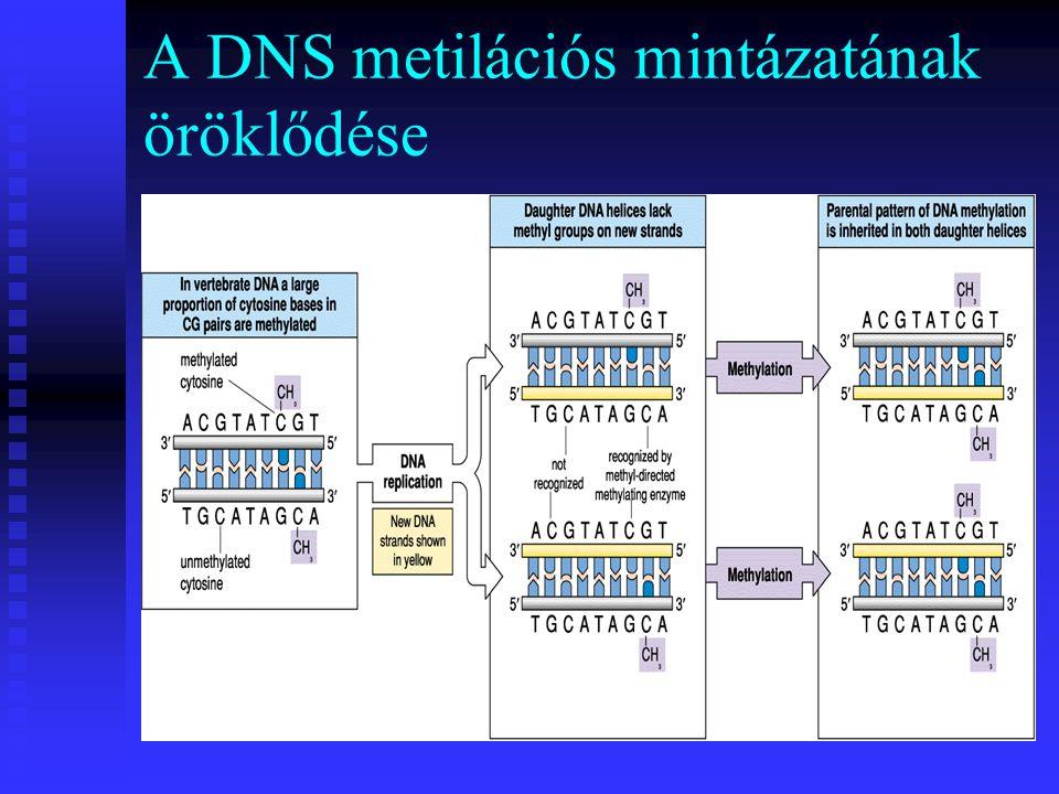 A DNS metilációs mintázatának öröklődése